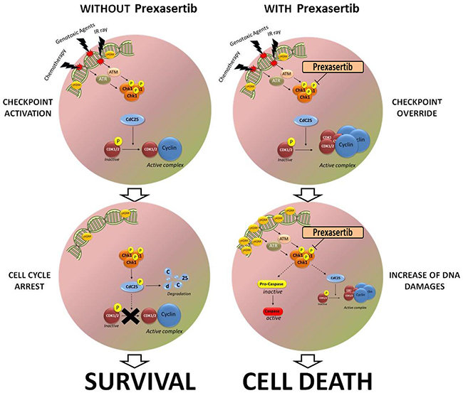 Schematic representation of the effect of prexasertib on leukemic blast after the exposure to different genotoxic agent.
