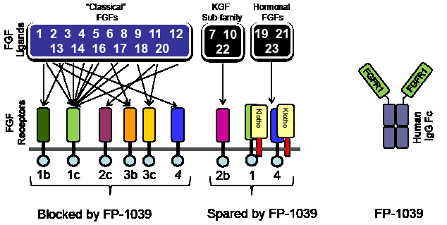 The family of FGF receptors and FGF ligands