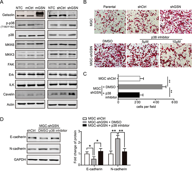 Gelsolin repressed EMT by inhibiting p38 pathway.