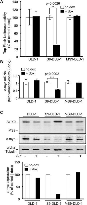SOX9 decreases the activity of the Wnt/ß-catenin signaling and the expression of c-myc.