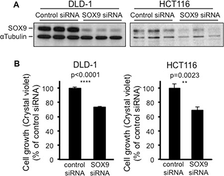 SOX9 knock down also paradoxically decreases CRC cell growth.