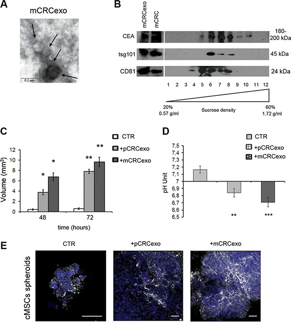 Colorectal cancer exosomes promote colonic MSC spheroids formation.