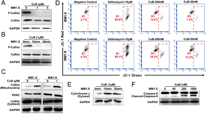 CuB induces dephosphorylation of cofilin, which is translocated to mitochondria, causing mitochondrial disfunction, release of cytochrome c and activation of caspase-8.