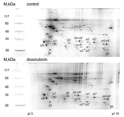 2D electrophoregrams of proteasomal proteins before and after doxorubicin treatment.