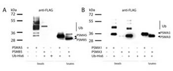 The alpha type subunits of the 20S proteasome undergo ubiquitylation