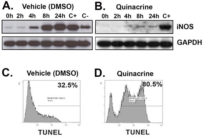 Quinacrine suppresses the activation of iNOS and induces apoptosis
