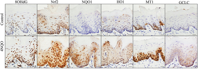 4NQO treatment enhances oxidative DNA damage (8OHdG) and up-regulates expression of NRF2 and its target genes in mouse tongue (NQO1, HO1, MT1 and GCLC).