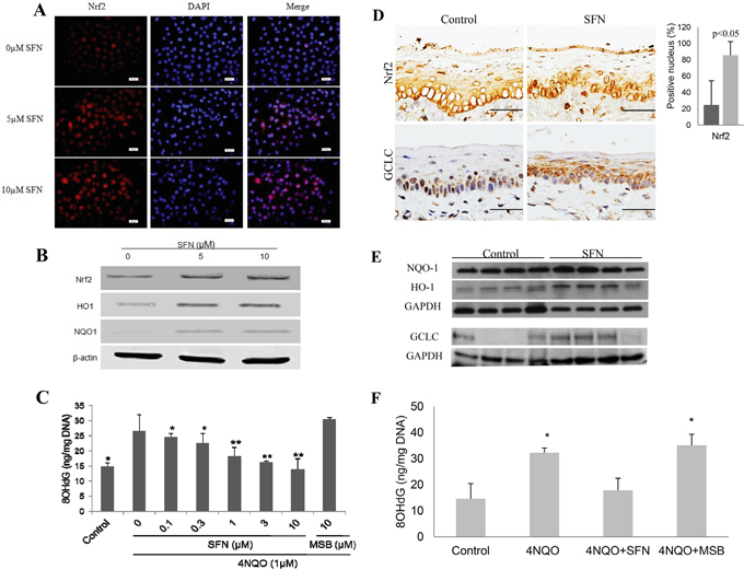SFN treatment up-regulates NRF2 and its target genes, and suppresses 4NQO-induced oxidative DNA damage in vitro and in vivo.