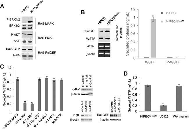 Release of WSTF was induced by KRASG12V in colon cells.