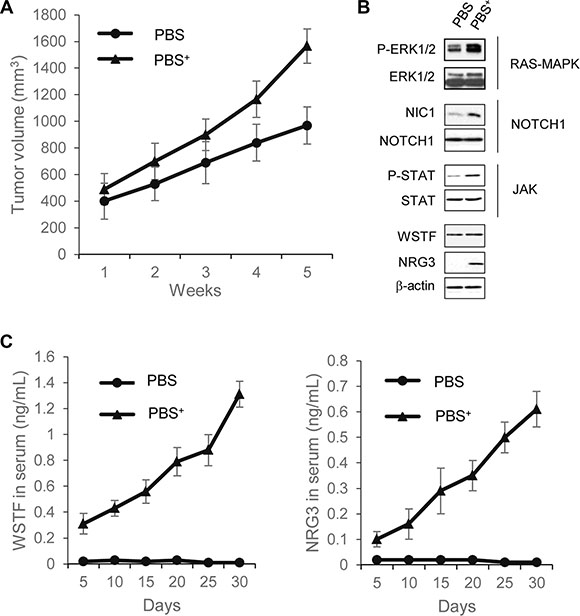 Extracellular WSTF and NRG3 promote tumor formation in mouse.