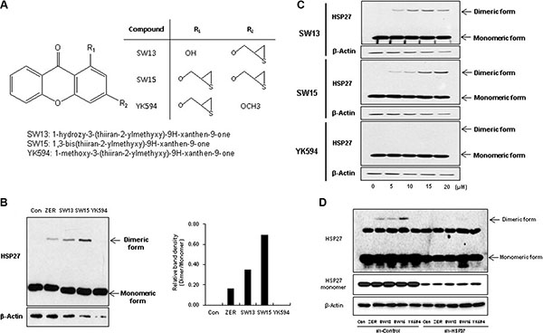 Xanthone structures led to different altered cross linking activity of HSP27.