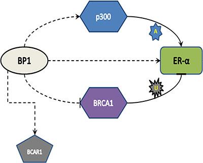 Model of BP1 regulation of ER.