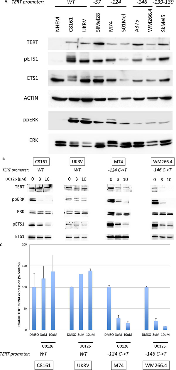 TERT expression is dependent on MAPK pathway activation.