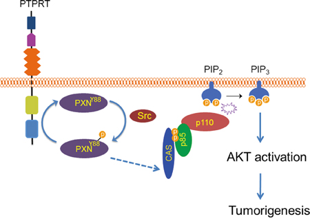 A model of phosphorylation of Y88 paxillin by Src leading to activation of AKT.