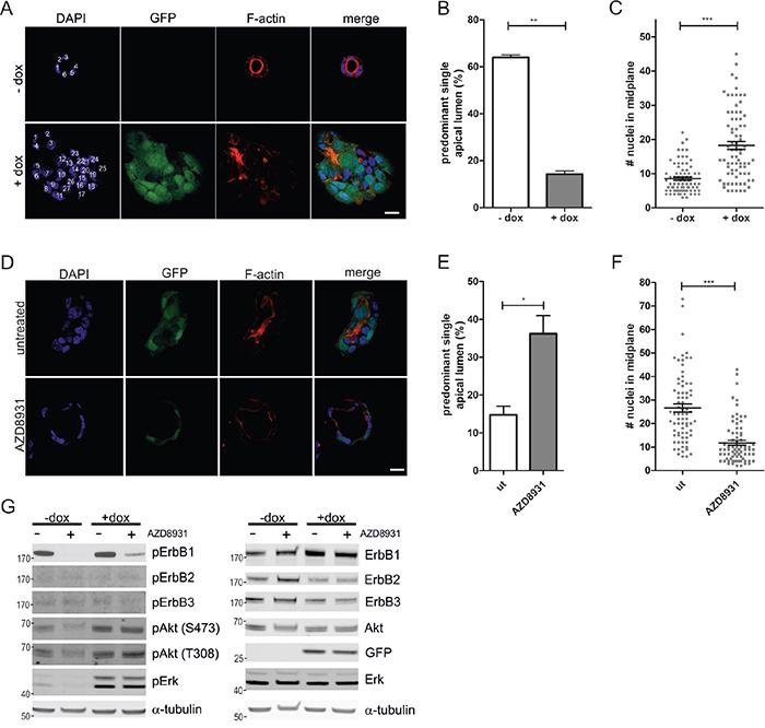 ErbB receptor inhibition restores aberrant morphogenesis of Caco-2 K-RasG12V cells in 3D culture.