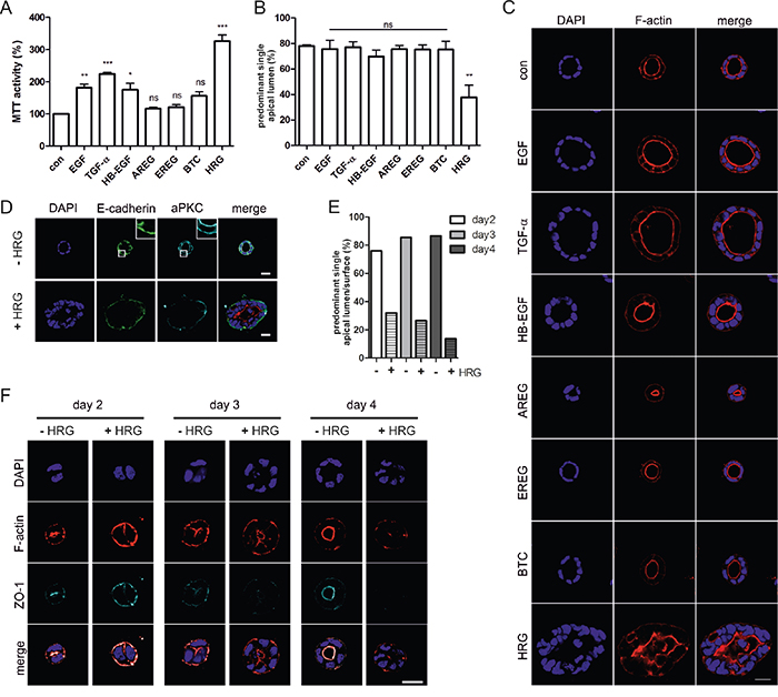 Heregulin impairs apical-basolateral polarity and lumenogenesis of Caco-2 cysts.