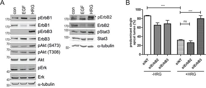 HRG-induced ErbB3 signaling impairs polarized morphogenesis of Caco-2 cells.