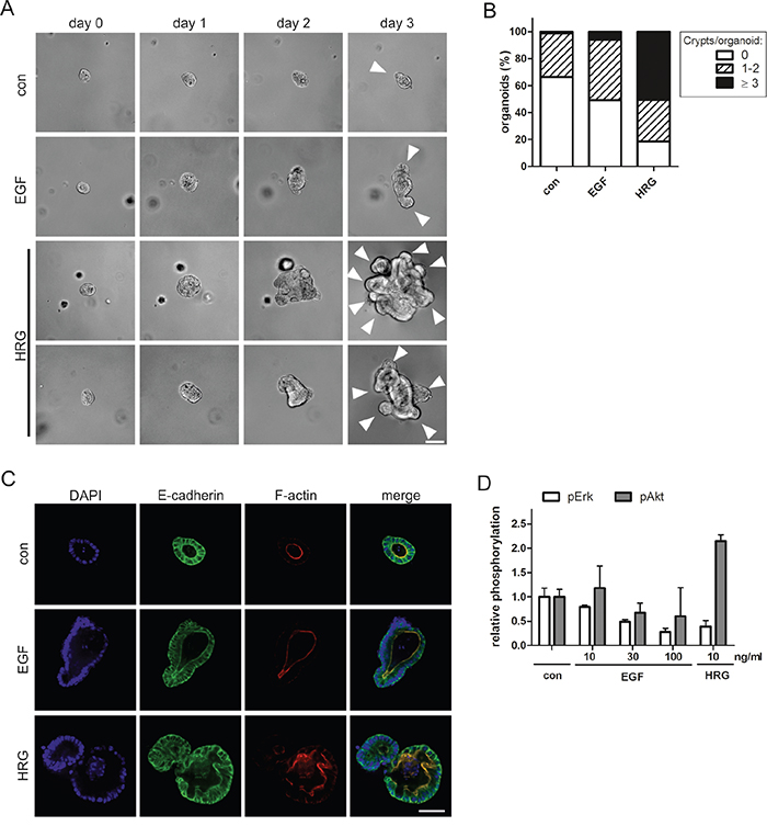 HRG triggers hyperproliferation and disrupts the architecture of intestinal organoids.