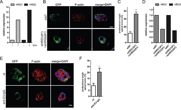 HRG depletion restores lumen formation in oncogenic K-RasG12V expressing Caco-2 cells.