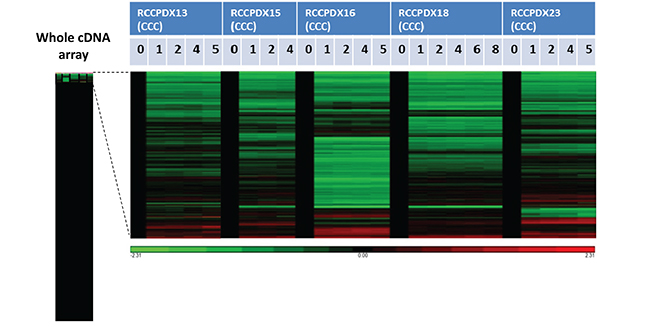 Affymetrix analysis of 5 RCCPDX tumors of the CCC subtype comparing the whole transcriptome of the original patient tumor (P0) to 3 to 5 passages (P1 to P8) in mice.