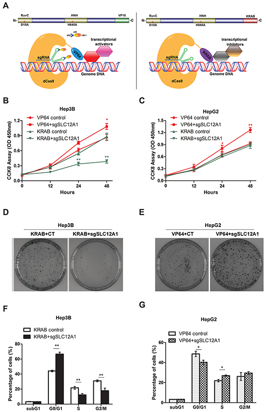 Silencing SLC12A1 inhibits Hep3Bcell proliferation.