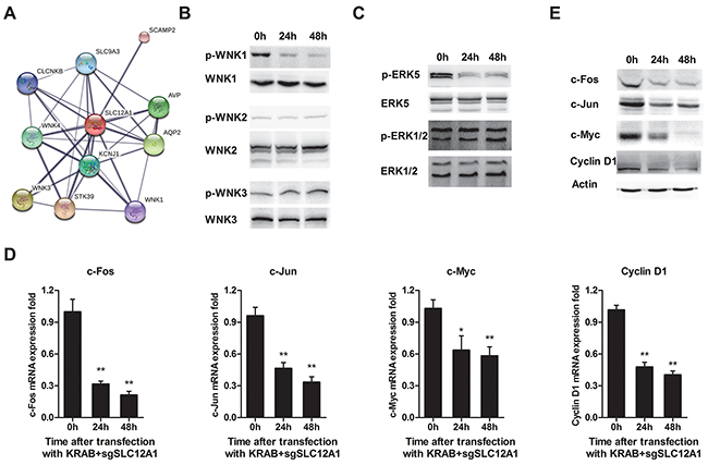 SLC12A1 knock-down in Hep3B impaired WNK1/ERK phosphorylation and blocked expression of downstream genes.