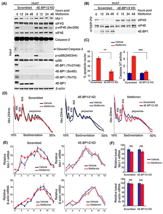 Metformin-induced apoptosis of liver cancer cells, and decreased translation of the anti-apoptotic mRNA Mcl-1, requires 4E-BP1/2.