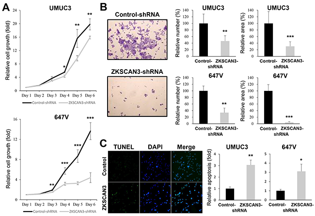Effects of ZKSCAN3 inactivation on bladder cancer cell proliferation.