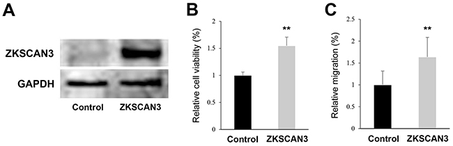 Effects of ZKSCAN3 overexpression on bladder cancer cell proliferation and migration.