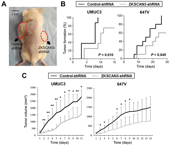Effects of ZKSCAN3 inactivation on tumor growth in mouse xenograft models for bladder cancer.