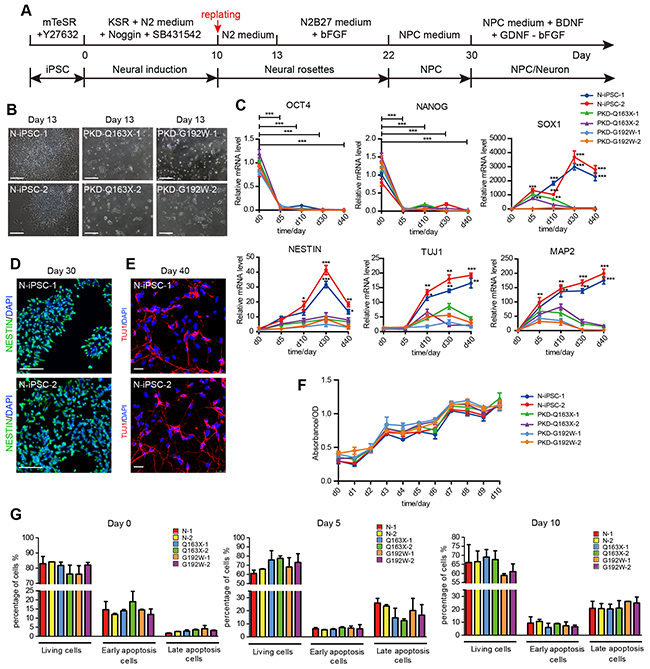 A step-wise neural induction of iPSC lines from PKD patients and a control individual.