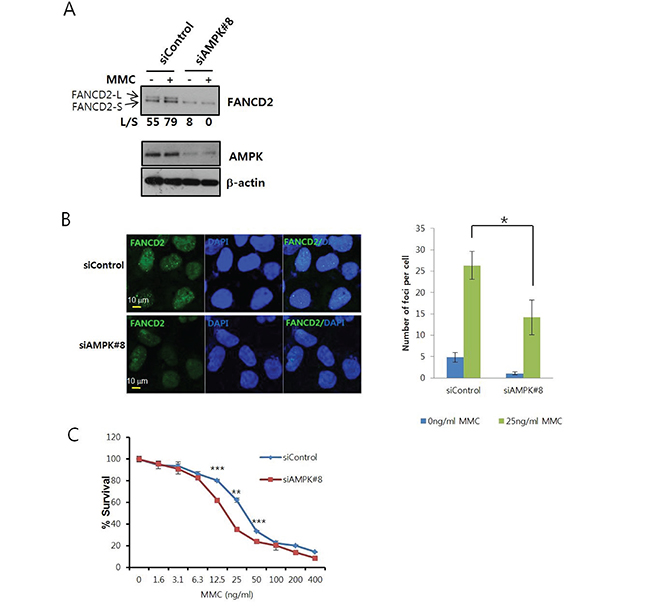 AMPK knockdown inhibits MMC-induced activation of FANCD2.