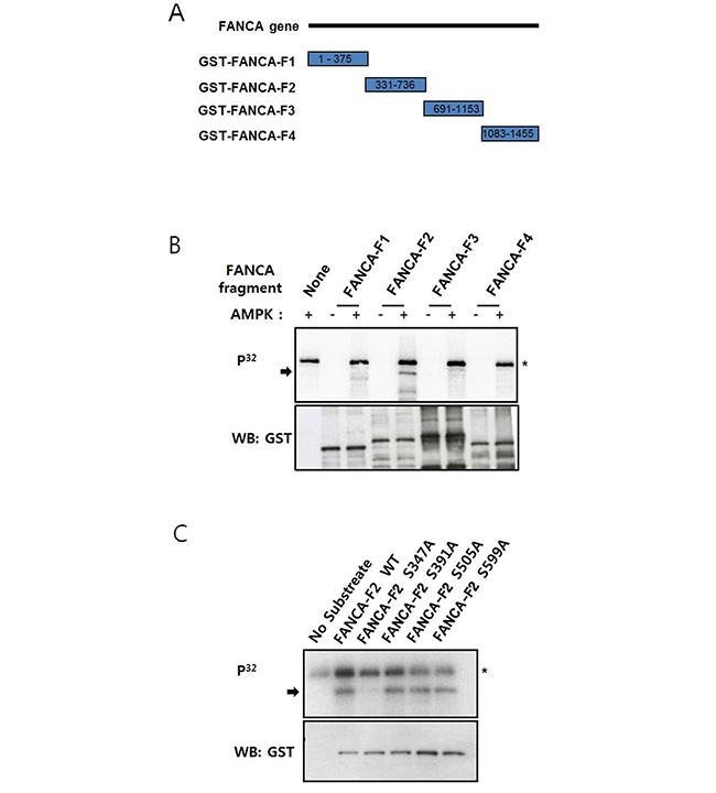 FANCA S347 is phosphorylated by AMPK in vitro.