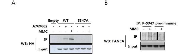 MMC induces phosphorylation of FANCA at S347.