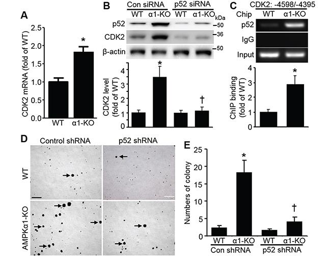 CDK2 elevation in AMPKα1-KO MEFs is mediated by p52.