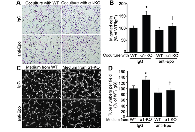 Secreted Epo from AMPKα1-KO MEFs enhances human microvascular endothelial cell (hmvEC) migration and tube formation.
