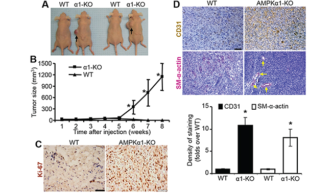 Allografed AMPKα1-KO MEFs promote tumor formation with increased vascularization in nude mice.