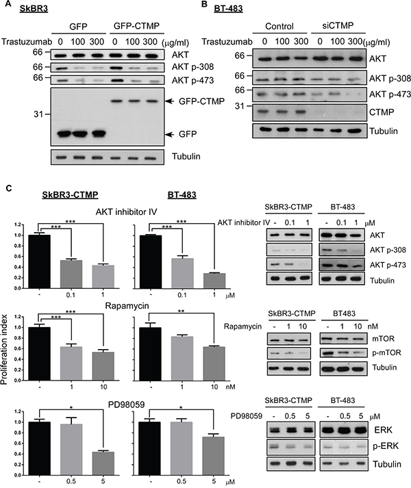 CTMP promotes trastuzumab resistance by activating AKT signaling.