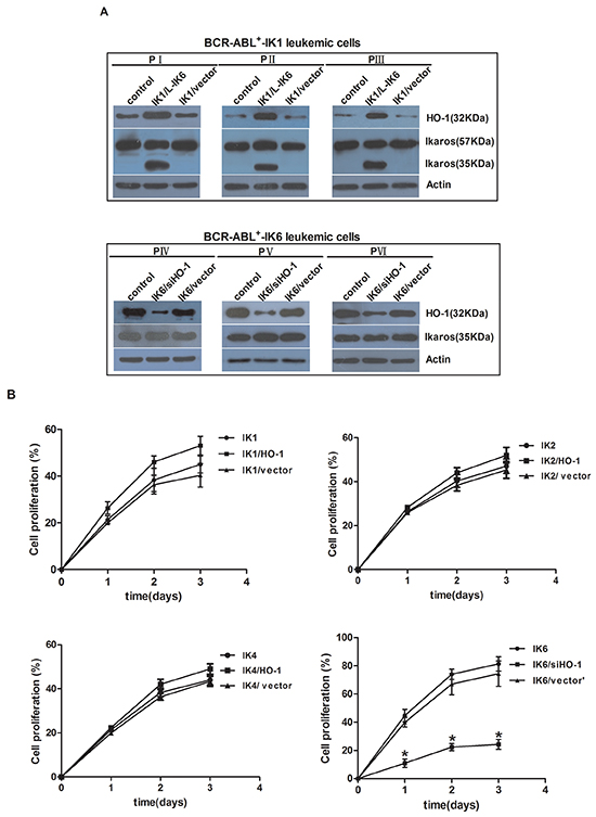 Inhibition of HO-1 reduces proliferation and induces apoptosis in IK6+ cells.