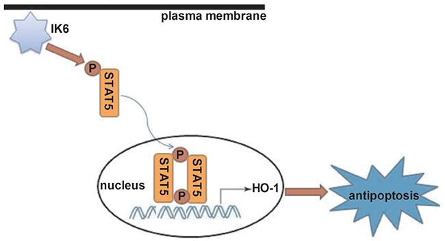 Schematic diagram showing how IK6 activates HO-1.
