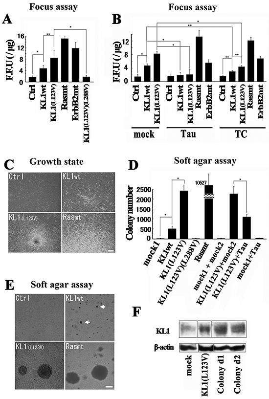 Transformation studies in RFL6 cells.