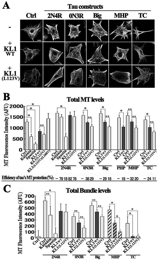 Tau protects MTs from KL1-induced MT severing in RFL6 cells.