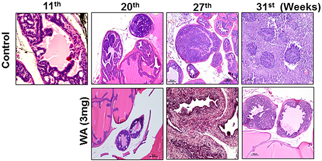 Images for mouse prostate tissues after H&E staining.