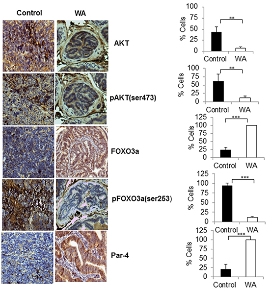 Immunohistochemical staining pro-survival, and pro-apoptotic makers in control and WA-treated prostate tumor tissues.