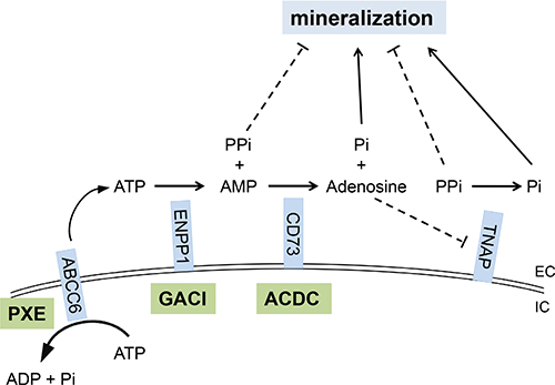 The PPi and Pi generating pathway points to the critical role of components of the pro-mineralization/anti-mineralization network.