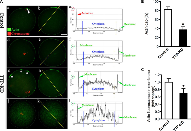 TTP knockdown disrupts the formation of actin cap during oocyte maturation.