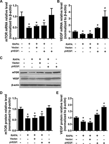 Effects of mTOR inhibition and VEGF overexpression on mTOR, AP-1, and VEGF expression.