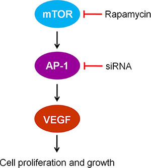 The mTOR/AP-1/VEGF signaling pathway regulates vascular endothelial cell growth.