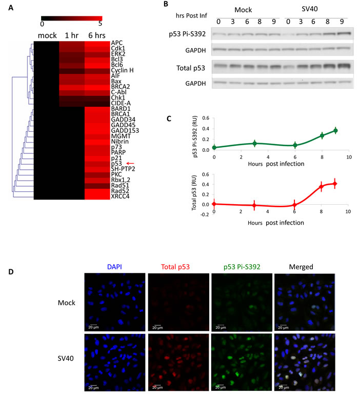 SV40 infection triggers activation of p53.