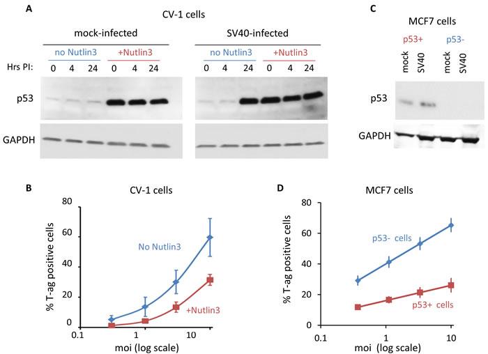 p53 functions in host defense against SV40.